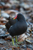 Moorhen searching for food Stock Photography