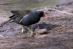A moorhen on the shore of the pond - gallinula chloropus. Moorhen on the shore of the pond - gallinula chloropus Stock Images