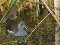 Moorhen in the swamp Stock Images
