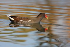 Moorhen swimming Stock Photography