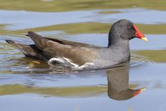 A moorhen on the Ornamental Pond royalty free stock photos