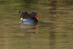 Moorhen swimming in Spring Royalty Free Stock Photography