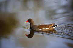Moorhen swimming in water. Royalty Free Stock Photo