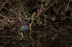 A moorhen wading through shallow water stock photo