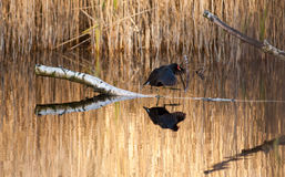 Moorhen walking along a branch Royalty Free Stock Photography