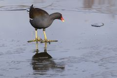 A moorhen walking on the ice Royalty Free Stock Photos