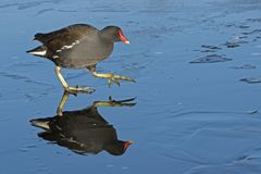 A moorhen walking on an icy pond : Southampton Common royalty free stock photo