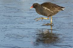 A moorhen walking on the ice at Southampton Common stock images