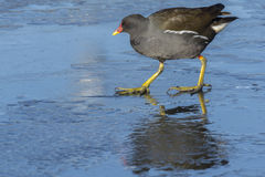 Moorhen walking on ice stock photos