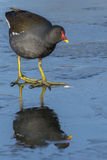 Moorhen walking on ice royalty free stock image