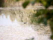Moorhen in the water lake surface outside animal Royalty Free Stock Image