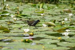 Moorhen on water lilies Royalty Free Stock Photo