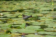 Moorhen on water lilies stock image