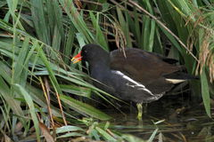 Moorhen on water Stock Images