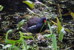 Moorhen on water Royalty Free Stock Photography