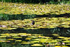 Moorhen on Water Lilies Stock Photography