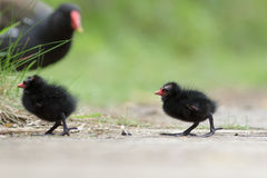Moorhen with young family Stock Photo