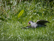 Moorhens fighting to death on grassy bank of pond Stock Photography