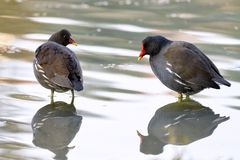 moorhens Gallinula chloropus with their paws in the water look at each other royalty free stock photo