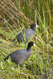 Moorhens Stock Photos