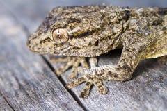 Moorish Gecko (Tarentola mauritanica). Close view detail of a Moorish gecko (tarentola mauritanica Royalty Free Stock Photos