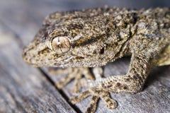 Moorish Gecko (Tarentola mauritanica). Close view detail of a Moorish gecko (tarentola mauritanica Stock Photos