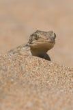 Moorish Gecko Tarentola mauritanica. Moorish Gecko in North African desert Stock Photo
