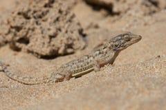 Moorish Gecko Tarentola mauritanica. Moorish Gecko in North African desert Royalty Free Stock Photos