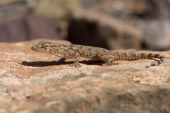 Moorish Gecko Tarentola mauritanica Royalty Free Stock Images
