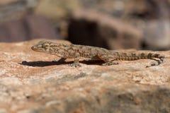 Moorish Gecko Tarentola mauritanica. Moorish Gecko in North African desert Royalty Free Stock Images