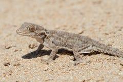 Moorish Gecko Tarentola mauritanica. Moorish Gecko in North African desert Stock Image