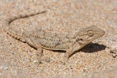 Moorish Gecko Tarentola mauritanica. Moorish Gecko in North African desert Royalty Free Stock Image