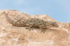Moorish Gecko Tarentola mauritanica stock image