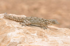 Moorish Gecko Tarentola mauritanica. Moorish Gecko in North African desert Royalty Free Stock Photo