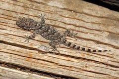 Moorish Gecko - Tarentola mauritanica Stock Images