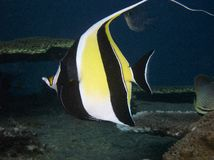 Moorish Idol. Zanclus cornutus Stock Photos