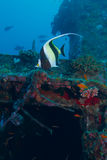 The moorish idol Stock Photos
