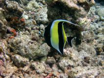 Moorish Idol. Tropical fish, from Maldives Royalty Free Stock Image