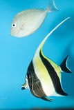 Moorish Idol in Aquarium Royalty Free Stock Images