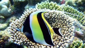 Moorish idol, Athuruga, Maldives Royalty Free Stock Photography