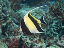 Moorish idol Stock Photography