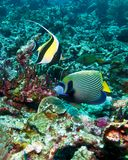 Moorish idol and emperor angelfish Royalty Free Stock Photography