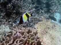 Free Moorish Idol Fish Stock Images - 26936304