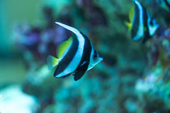 Moorish Idol fish. Moorish Idol making their way through the reef Royalty Free Stock Image