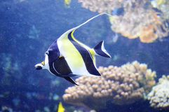 Moorish Idol Fish Royalty Free Stock Image