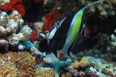 Moorish idol fish. Zanclus cornutus underwater in the tropical waters of the indian ocean Royalty Free Stock Images