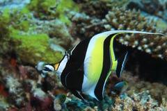 Moorish idol fish Royalty Free Stock Photos