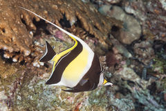 Moorish idol Royalty Free Stock Photo