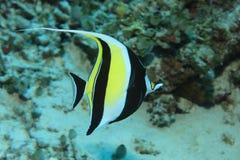 Moorish idol fish Stock Photos