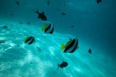 Moorish idol fishes. Swimming between corals Stock Images